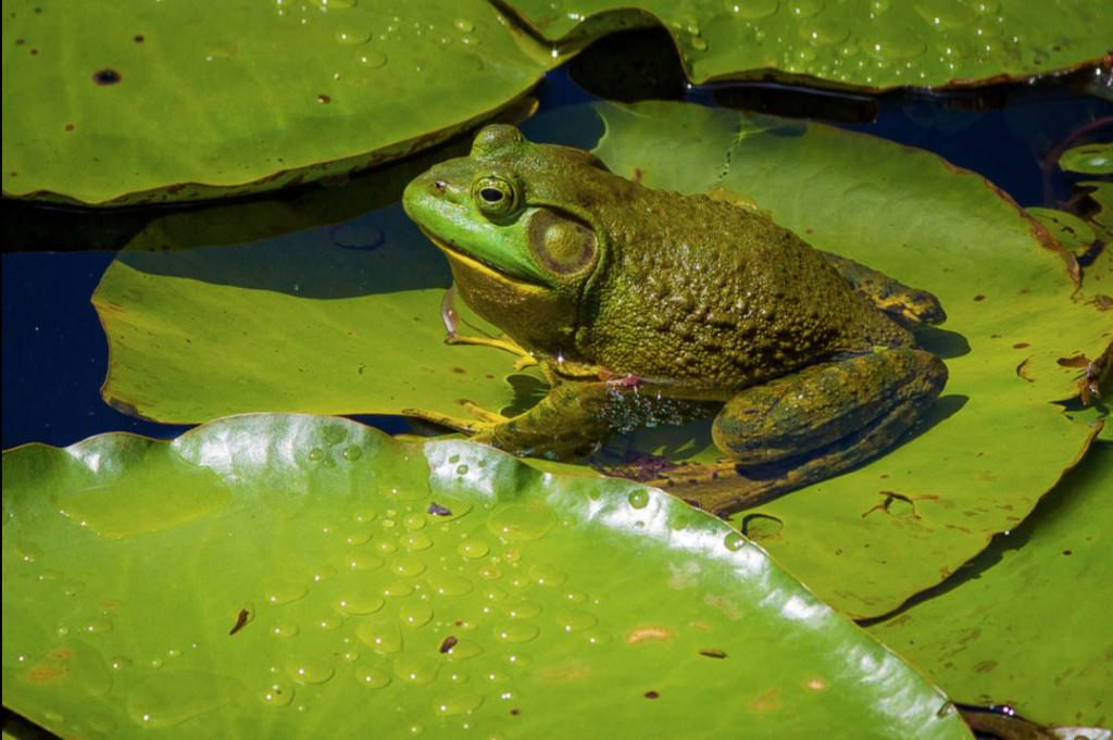 It's not easy being green. Frog on Lily Pad