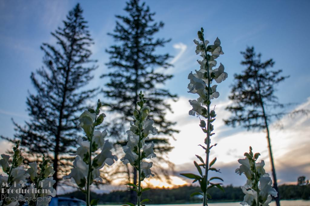 Flowers growing with tall pines in the background. © Miceli Productions Photography