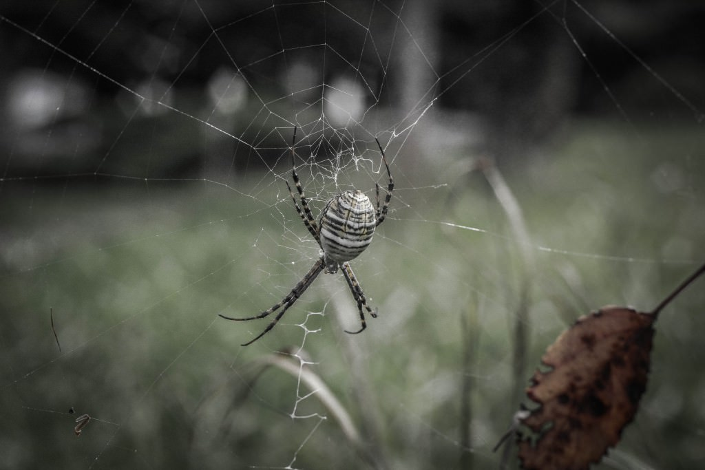 Photo of a garden spider weaving a web. Photo by Miceli Productions