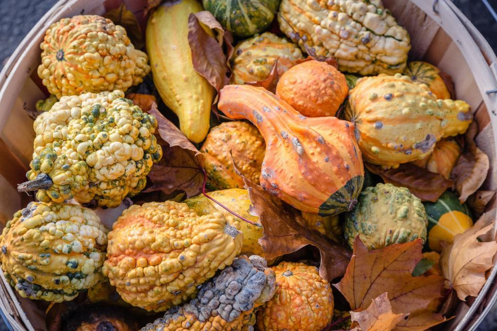 Outside autumn gourds in a basket with fall leaves at the New England Connecticut Lewis Farm Stand in November. Orange gourds, bumpy gourds, yellow gourds all together.