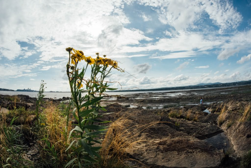 Yellow wild flowers grow on the banks of a rocky seaside shore, blooming despite the harsh conditions.